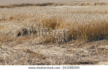 the cereals destroyed by spoiled weather. agriculture. small depth of sharpness - stock photo
