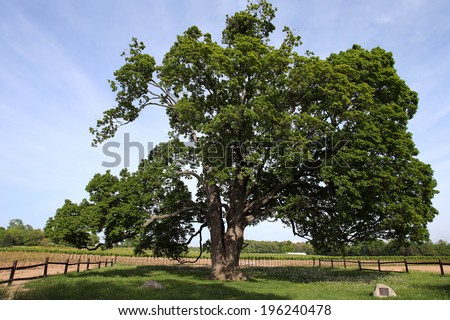 the comfort maple tree, said to be 530 yrs old, the oldest sugar maple tree in Canada - stock photo
