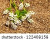the flower of a buckwheat being on grains of a buckwheat. small depth of sharpness - stock photo