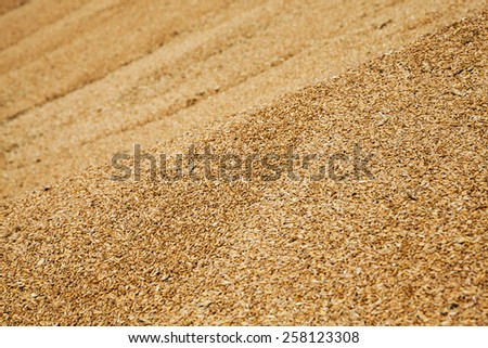 the grains of wheat collected in heaps during harvesting
