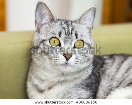 The gray cat lies on a sofa and looks around