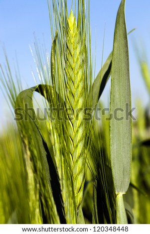 the green unripe ear of wheat photographed by a close up - stock photo