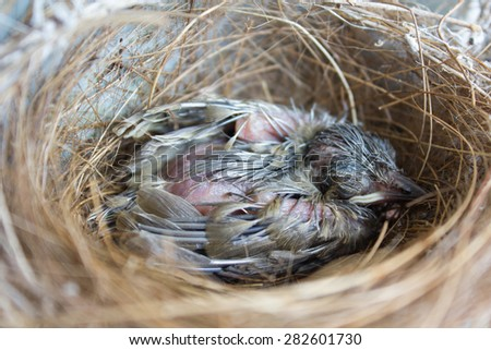 (the growth of birds feather and wings  between 7th-8th day) newborn bird, nestling in the nest and feather wings growth story of new born of bulbul bird which see in Thailand