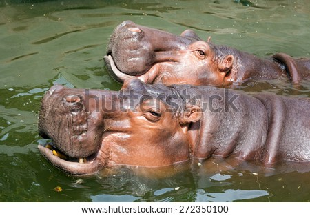 The hippopotamus, or hippo, mostly herbivorous mammal. - stock photo