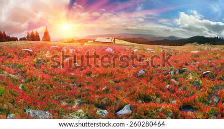 the leaves of blueberry and lingonberry in alpine heaths are painted in orange and purple golden hue at sunset and sunrise, beautiful carpet on the wild mountain ranges of the Carpathians Ukraine