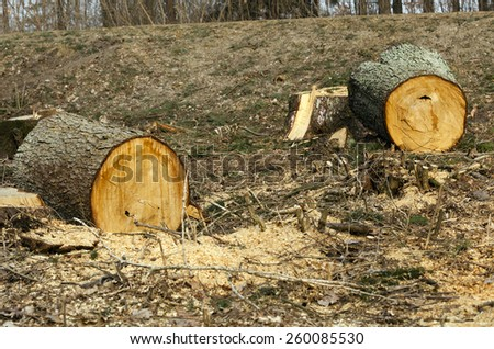 the old cut-down and sawn trees. close up, small depth of sharpness - stock photo