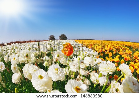 The picture was taken Fisheye lens.  Huge kibbutz field of multi-colored buttercups (Ranunculus asiaticus).  The wonderful spring weather, light  clouds flying across a blue sky. - stock photo