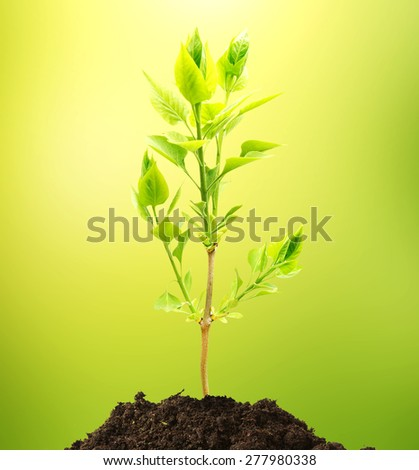 The plant tree growing seedling in soil isolated on white background  - stock photo