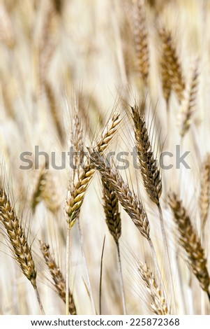 the ripened ears of cereals   - stock photo