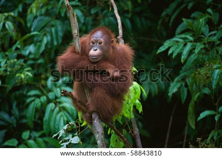 . The Sad. / Pongo pygmaeus wurmbii - southwest populations. The orangutans are the only exclusively Asian living genus of great ape.