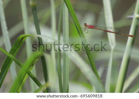 the small red dragonfly on grass leaf