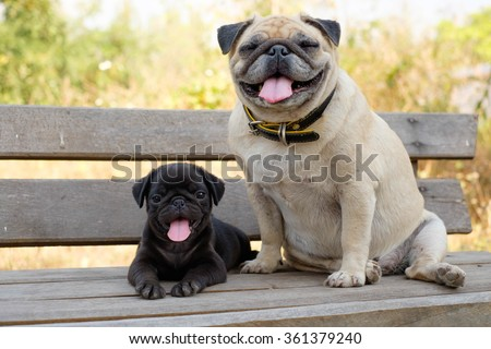(The Smile of pug dog)The black puppy pug dog lying front female fawn pug on wooden chair. - stock photo