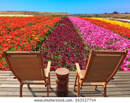 The spring blossoming buttercups  grow multi-colored strips. Two chaise lounges for rest stand on a scaffold at a picturesque flower field - stock photo