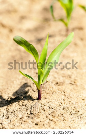 the sprout of young green corn photographed by a close up - stock photo
