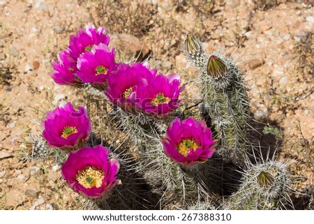 The Strawberry Hedgehog Cactus (Echinocereus engelmannii) is commonly found in desert areas of the southwestern United States - stock photo