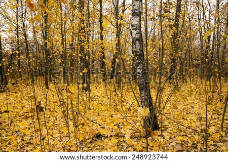 the trees growing in the wood in an autumn season. on the earth the fallen-down yellow foliage lies