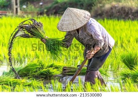The woman growing rice on the paddy rice farmland, Dong Nai province, Vietnam - stock photo