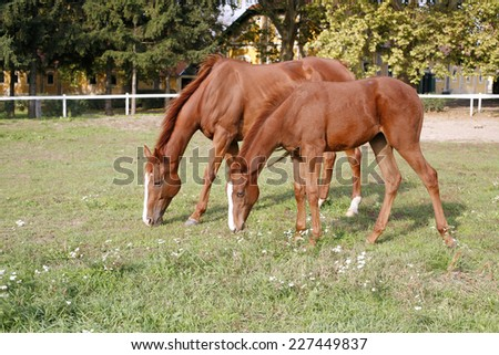 Thoroughbred mare and foal grazing in pasture following mother