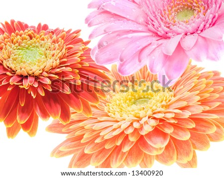three colorful gerbera flowers overlapping each other. - stock photo