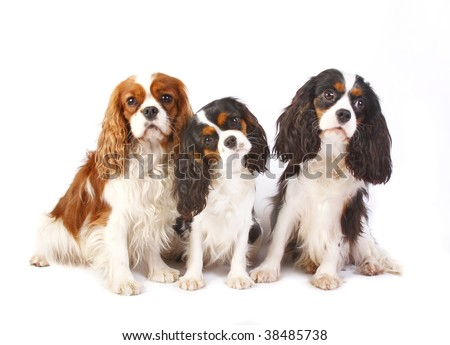 Three dog breeds Cavalier king charles spaniel isolated on a white background - stock photo
