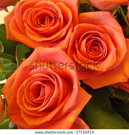 three full-blown orange roses - stock photo
