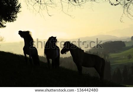 Three Miniature horses (mini shetland pony) in sunrise - stock photo