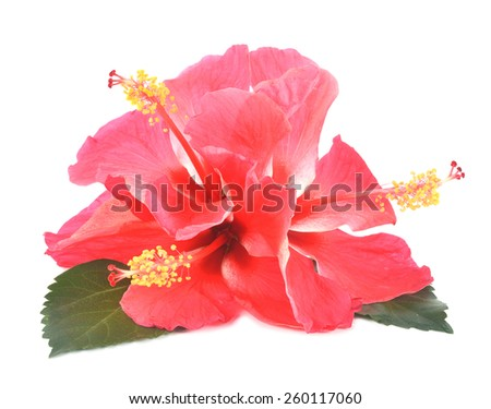 Three Pink hibiscus with leaves isolated on white background - stock photo