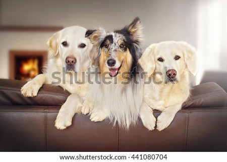 three sweet dogs look over the couch - stock photo