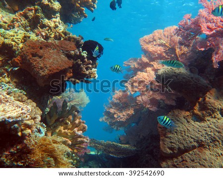 Thriving  coral reef alive with marine life and shoals of fish, Bali. - stock photo