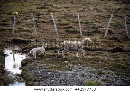 TIERRA DEL FUEGO, CHILE - NOVEMBER 14,2014:Sheep in Tierra del Fuego.