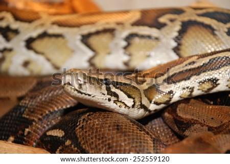 Tiger Python (python molurus bivittatus), portrait - stock photo
