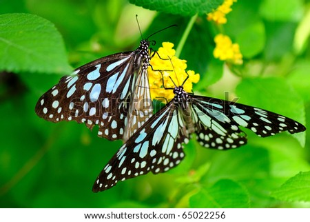 Tirumala limniace or Blue tiger Butterfly sucking nectar from flower