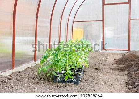 tomato seedlings in the greenhouse - stock photo