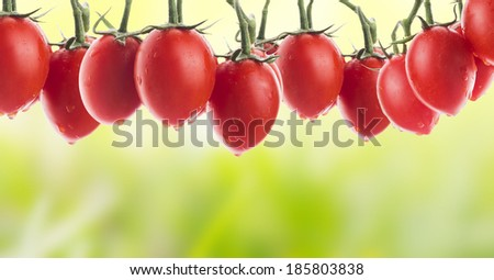 tomatoes on branch with water drops in garden, banner - stock photo