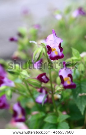 Torenia or Wishbone flowers in the garden or nature park vintage