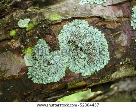 Tree Moss - stock photo