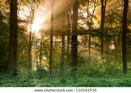 Trees in foggy forest - stock photo