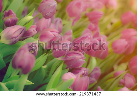 Tulips  in soft color  and vintage colors and blur style for background.