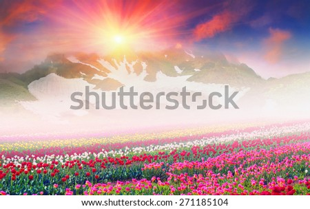 tulips of different breeds on the backdrop of scenic wilderness after rain misty morning among bright spring greens in the mountains in warm golden rays of sunrise sun-natural beauty of the Earth  - stock photo