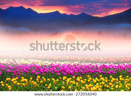 tulips of different breeds on the backdrop of scenic wilderness after rain misty morning among bright spring greens in the mountains in the warm golden rays of sunrise sun-natural beauty of the Earth - stock photo