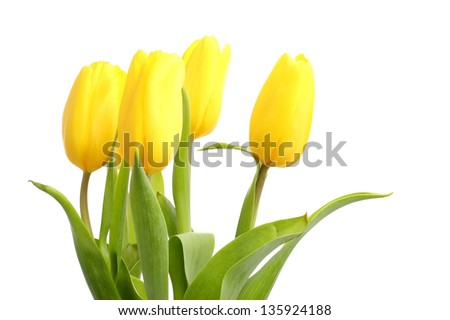tulips over white background as a card design