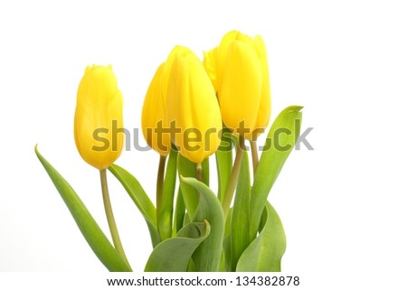 tulips over white background as a card design on Holiday theme