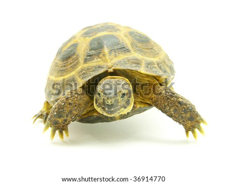 turtle isolated on white
