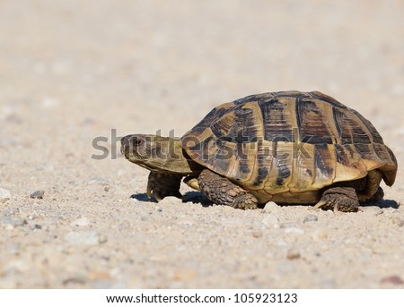 turtle on sand, testudo hermanni, Hermann's Tortoise