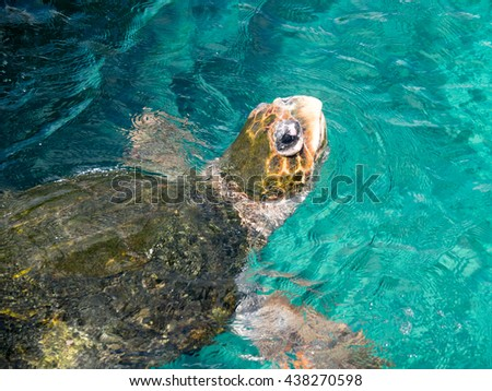 Turtle on the surface for air Curacao views a small Caribbean Island in the Dutch Antilles