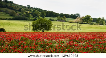 Tuscan field of poppies - stock photo
