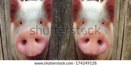 two big pig on a farm in a pigsty