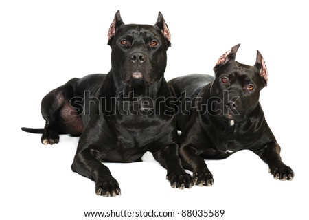 Two black pit bull dog  in studio on a white background listening attentively - stock photo