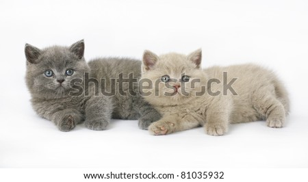 Two  British kittens on white background - stock photo