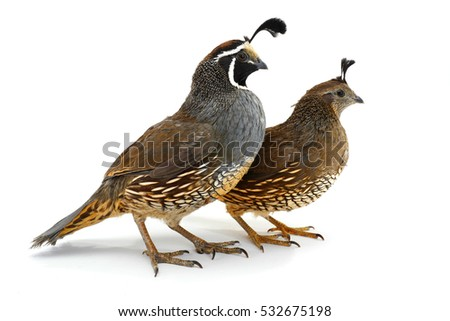 two California Quail isolated on a white background